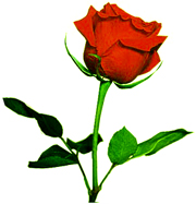 Red Rose @ Razzi Rahman